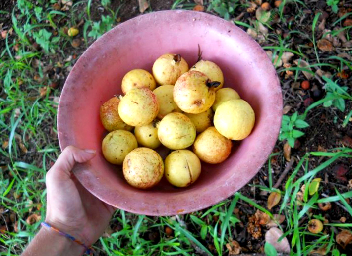 collecting guayaba